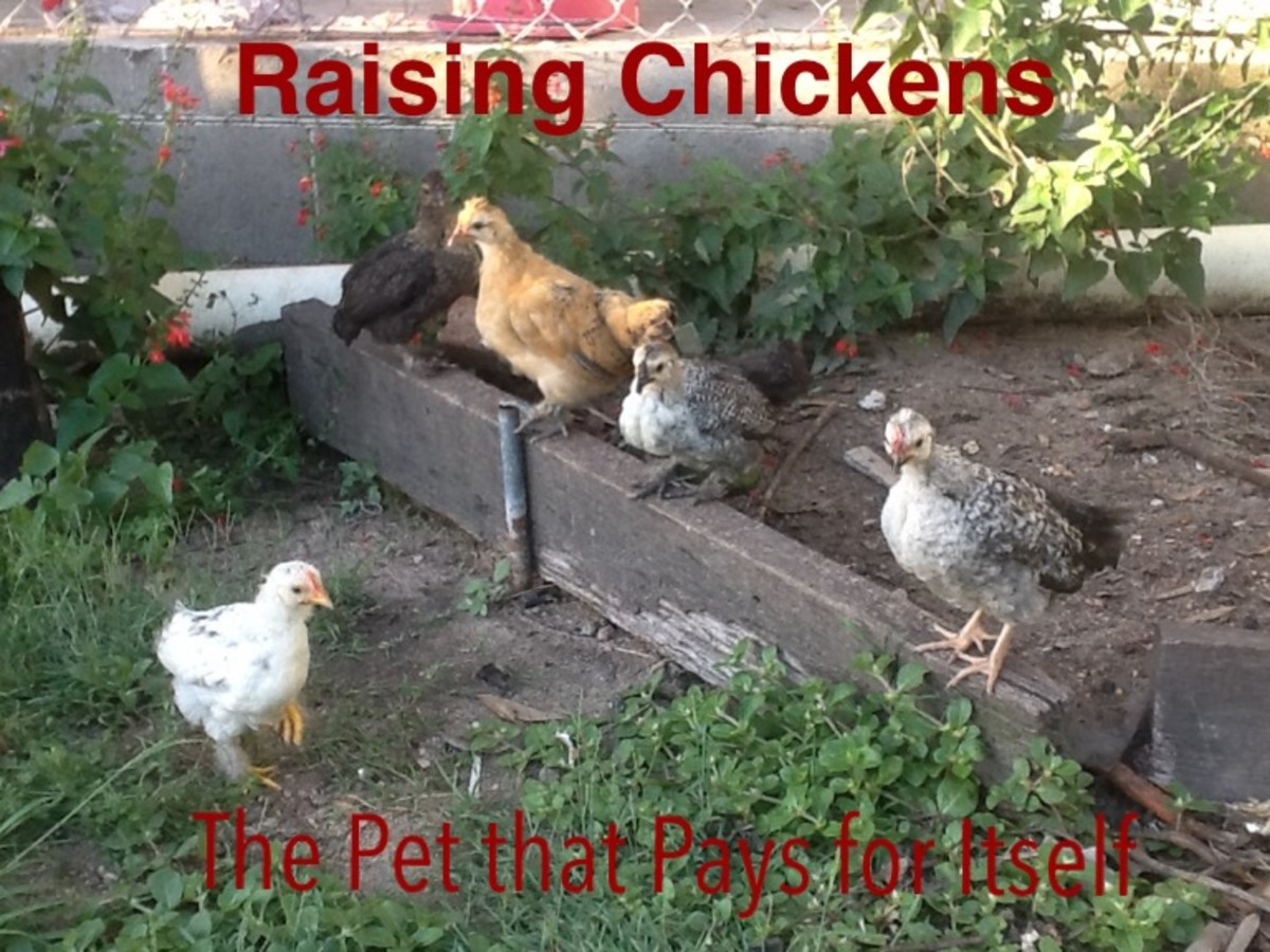 Raising Chickens (the Pet That Pays for Itself)