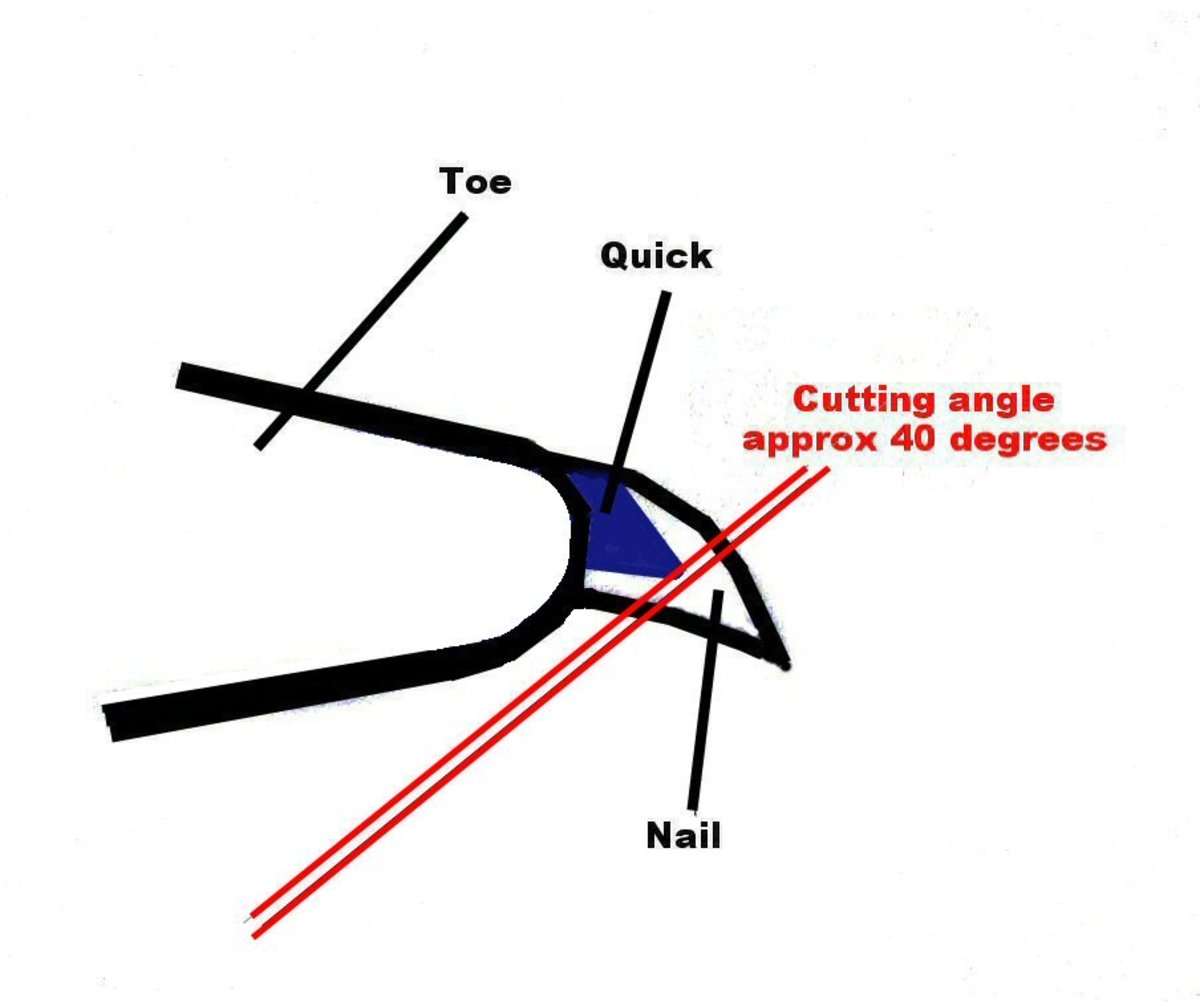 The proper cutting angle to avoid cutting the quick located inside the dog's nail.