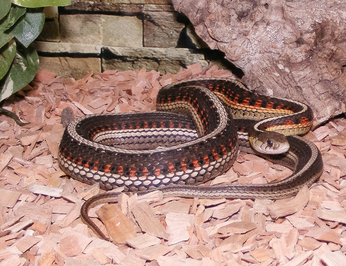 A female red-sided garter snake containing eggs; despite the name of the snake, not all individuals have red markings on their sides