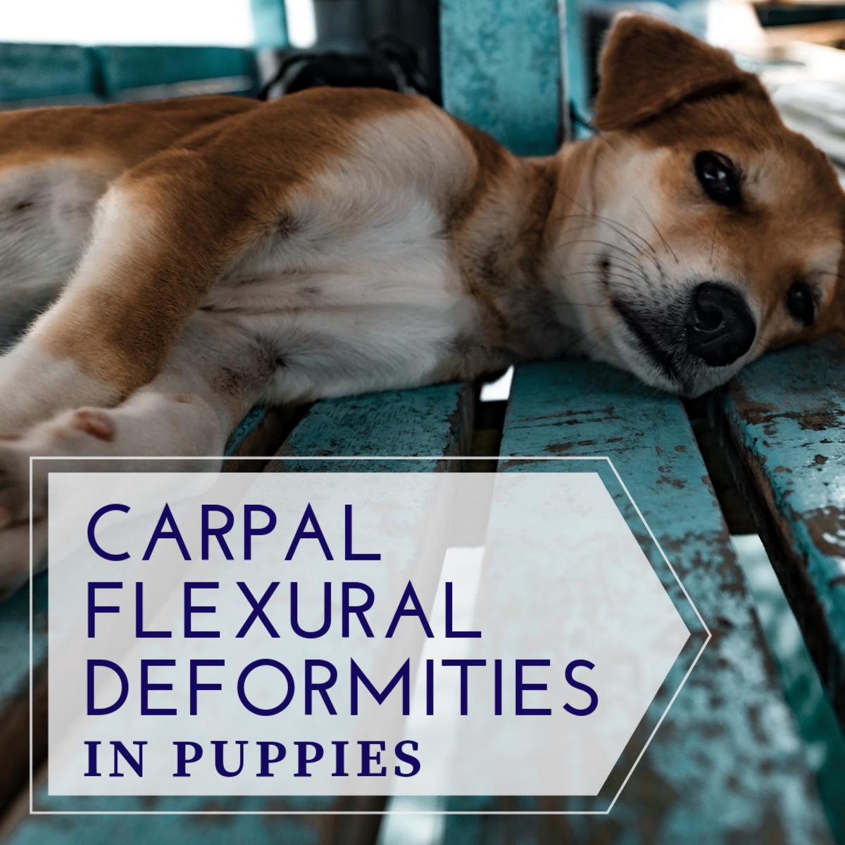 Carpal Flexural Deformities in Puppies