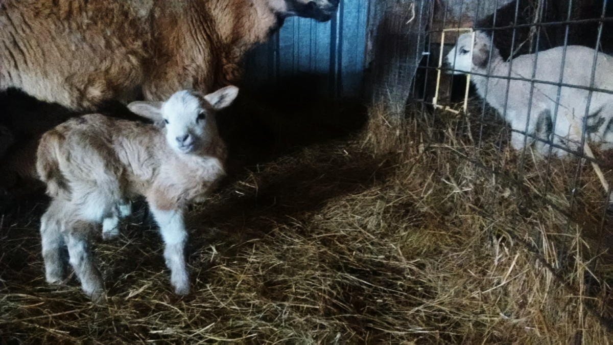 This Barbados / Finnsheep cross ewe lamb shows signs of good health; she is not cold or starving. The Polypay lamb in the background is showing an example of the hunched position lambs will often take when chilled, though his head is not ducked down.
