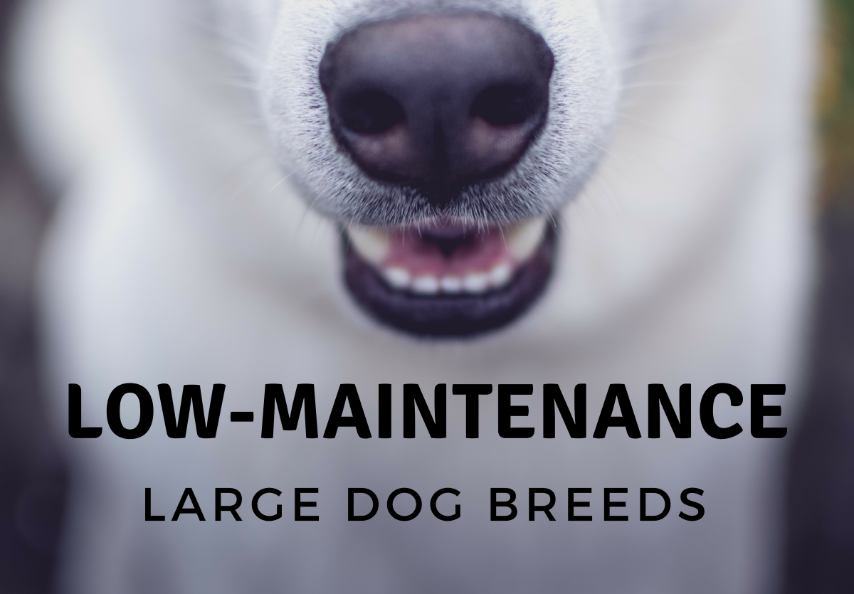 10 Large Dog Breeds That Are Low-Maintenance