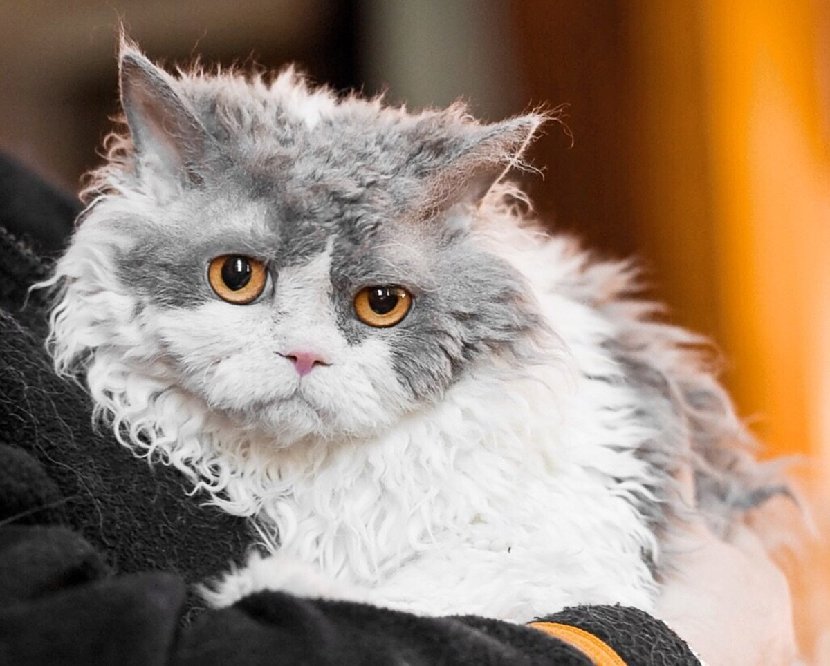 A long-haired Selkirk Rex at a cat show in Helsinki