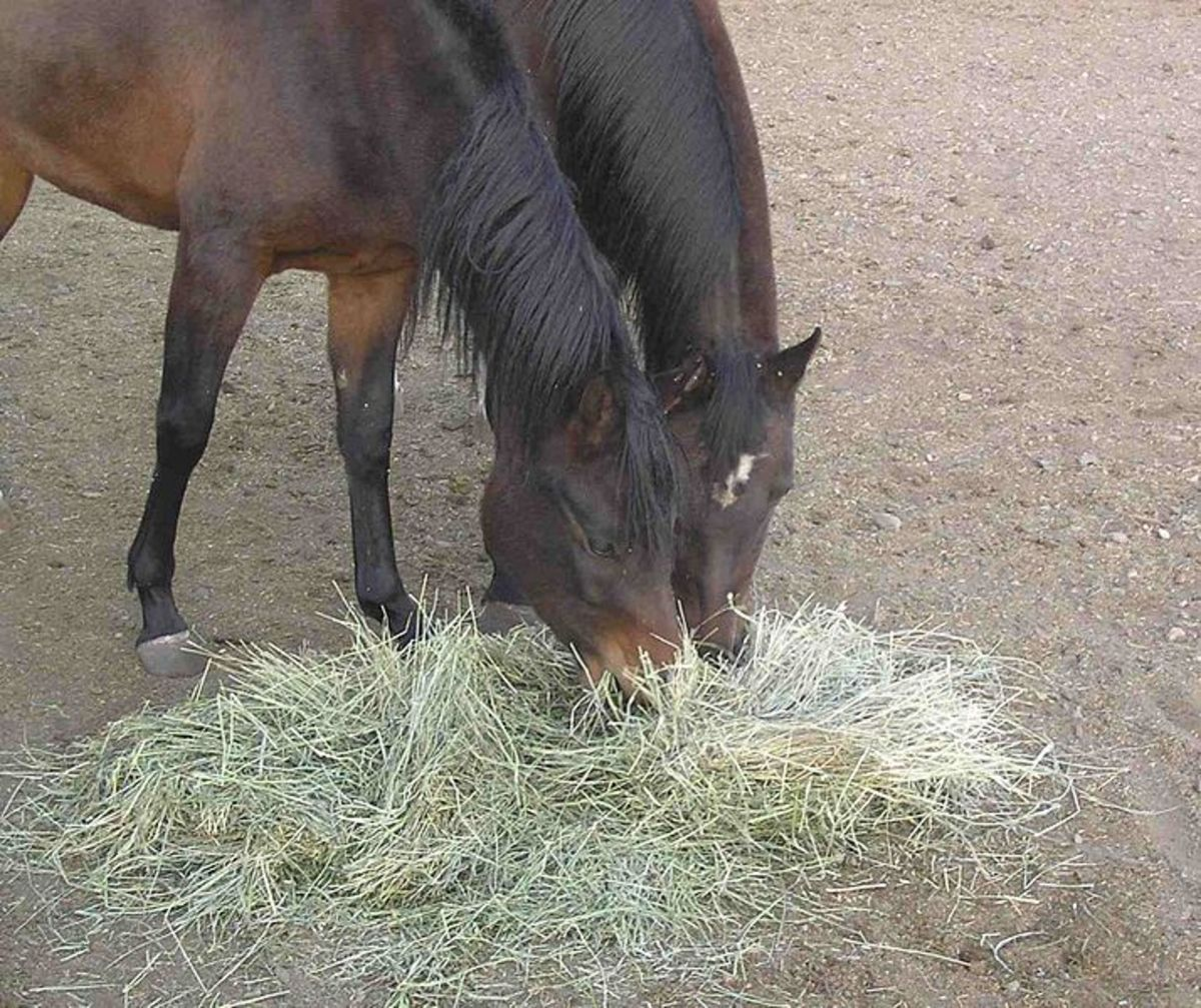 Riding horses eating hay