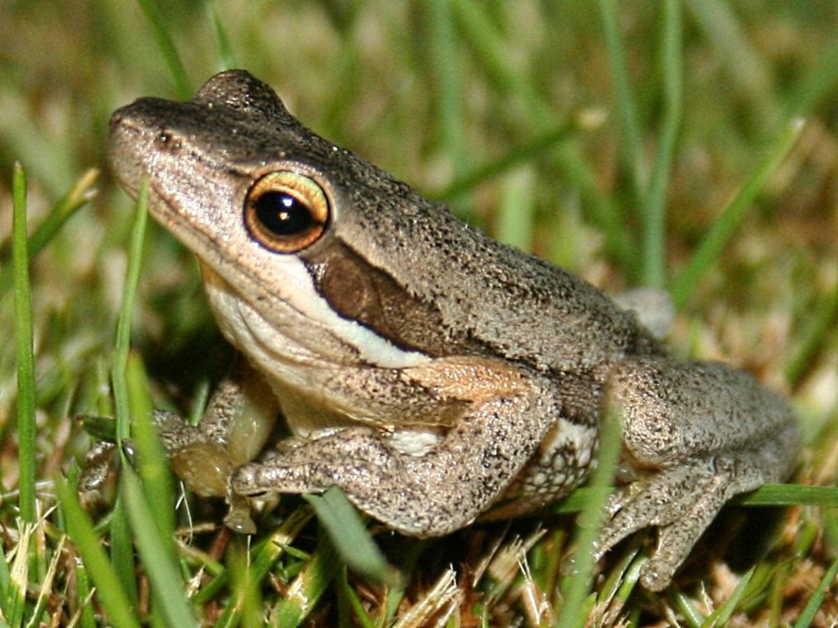 Western Slender Tree Frog