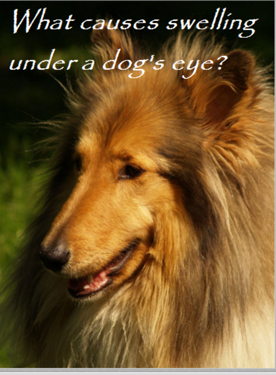 A Dog's Carnassial Tooth May Cause Swelling Under the Eye