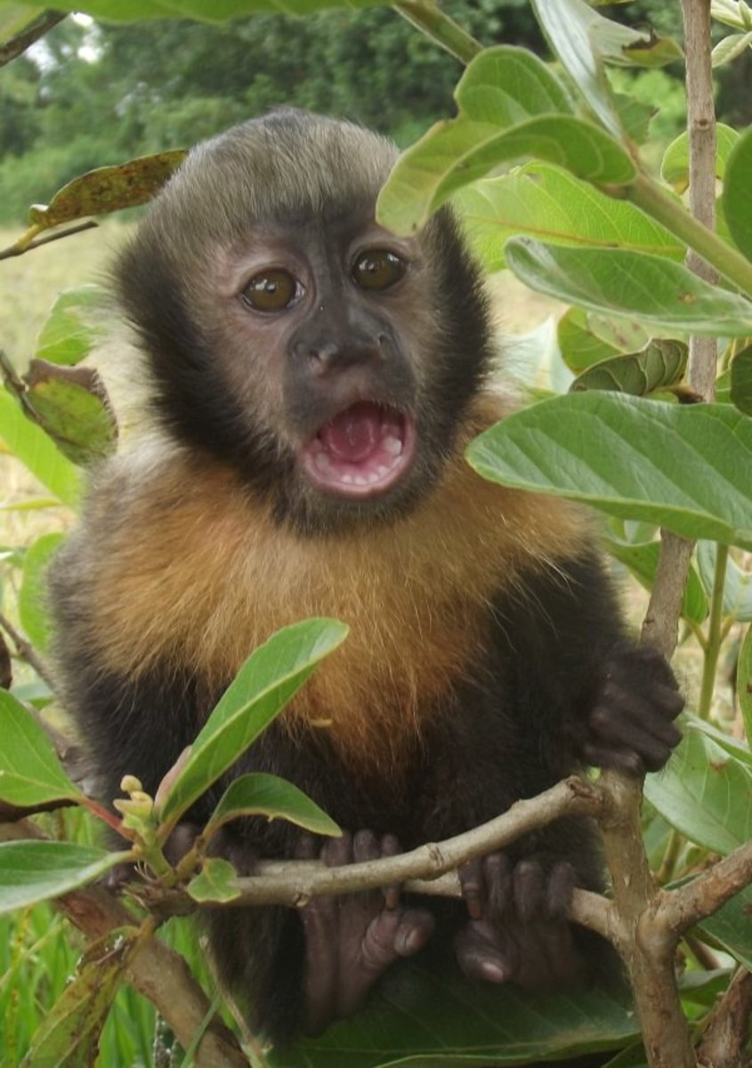 Housetraining a Capuchin monkey? Oh NO!!!