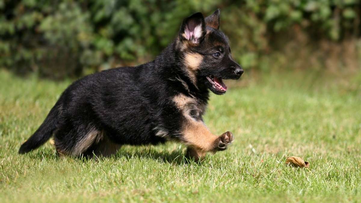 He's cute now, but what about later? German Shepherds are a breed with higher energy levels.