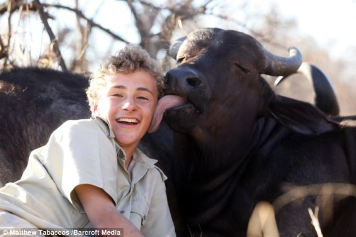 Luke has gained the trust of two Cape buffalo.