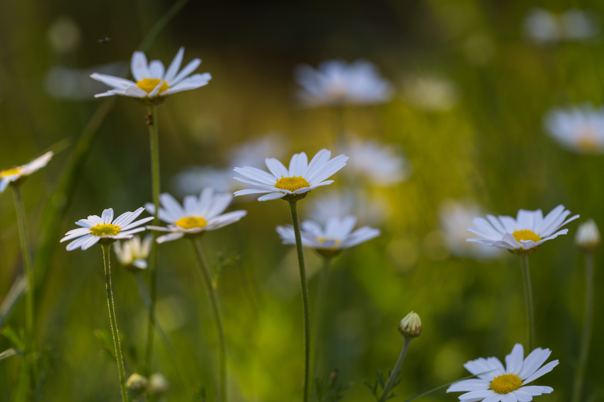 Chamomile is a gentle soother.