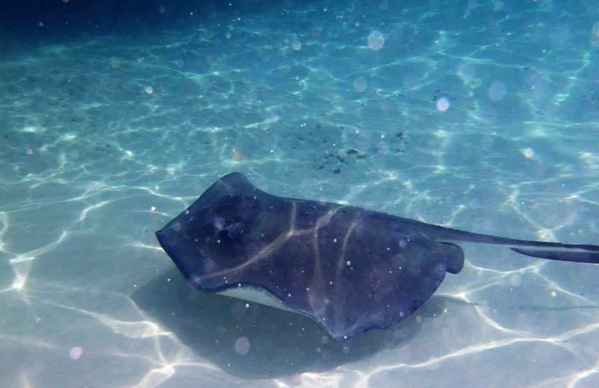 A friendly stingray in Cayman Island's Stingray City where waters are shallow enough for kids to stand in the ocean with the creatures.