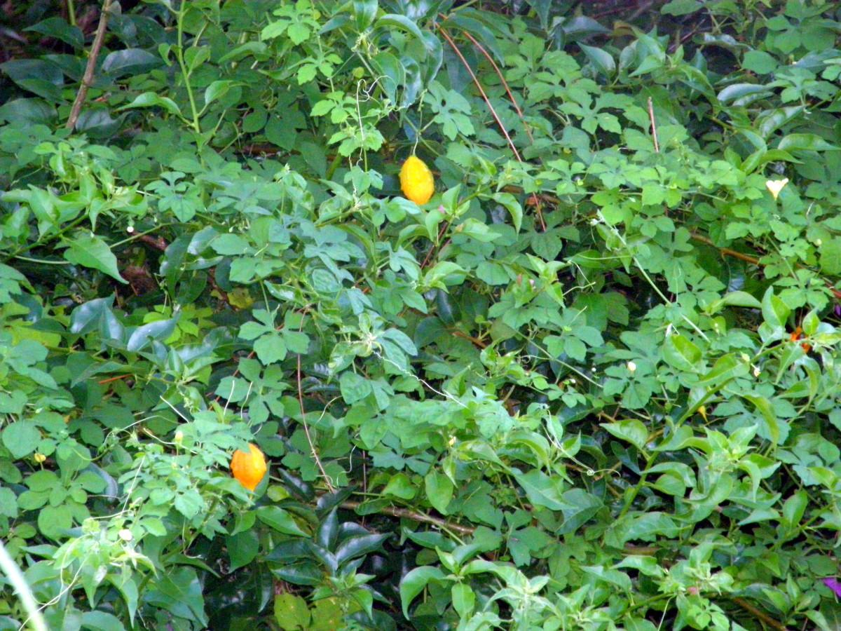 Cerasee vine almost taking over my bougainvillea bush