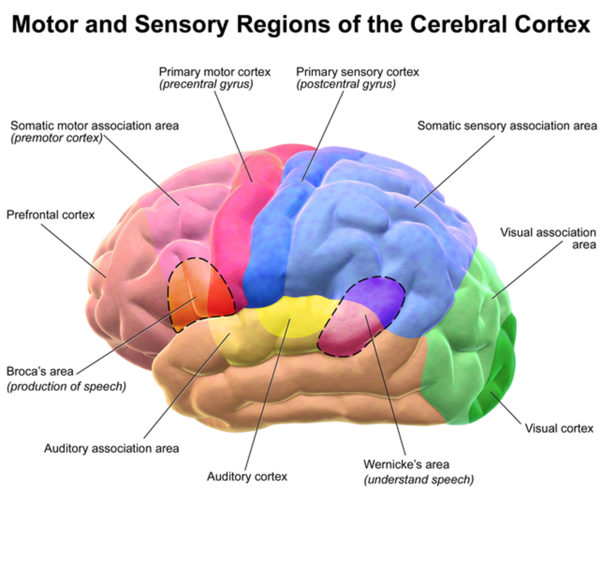 This illustration shows colour-coded lobes of the cerebral cortex. Pink = frontal lobe, blue = parietal lobe, orange = temporal lobe, green = occipital lobe