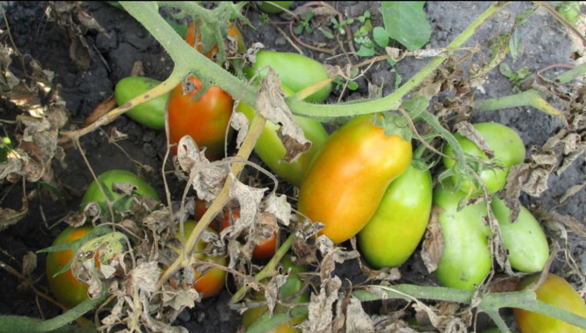 How to Freeze Homegrown Tomatoes
