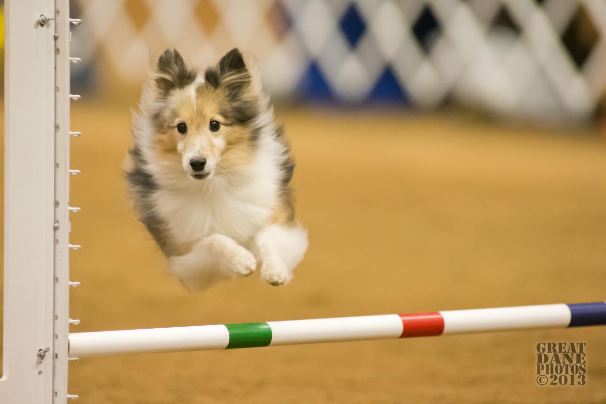 Dog Hurdling