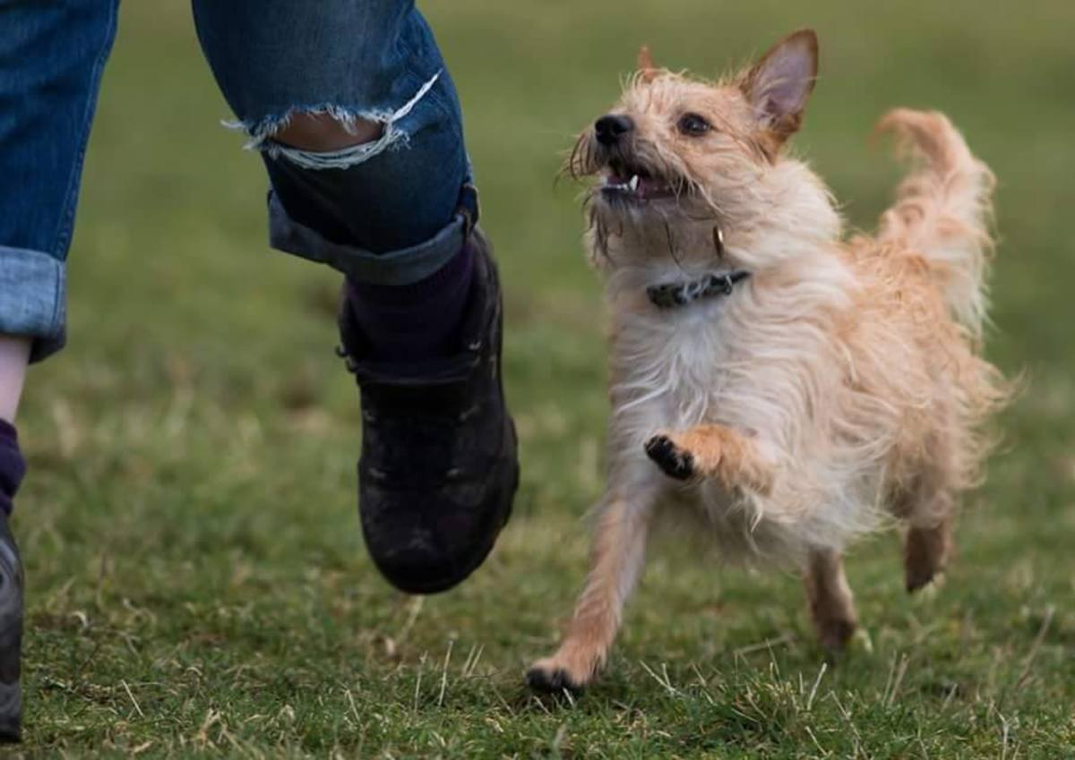 Teaching your dog to trot along beside you instead of pulling at the leash or disappearing in the distance as soon as they're unclipped isn't as hard as you might think!