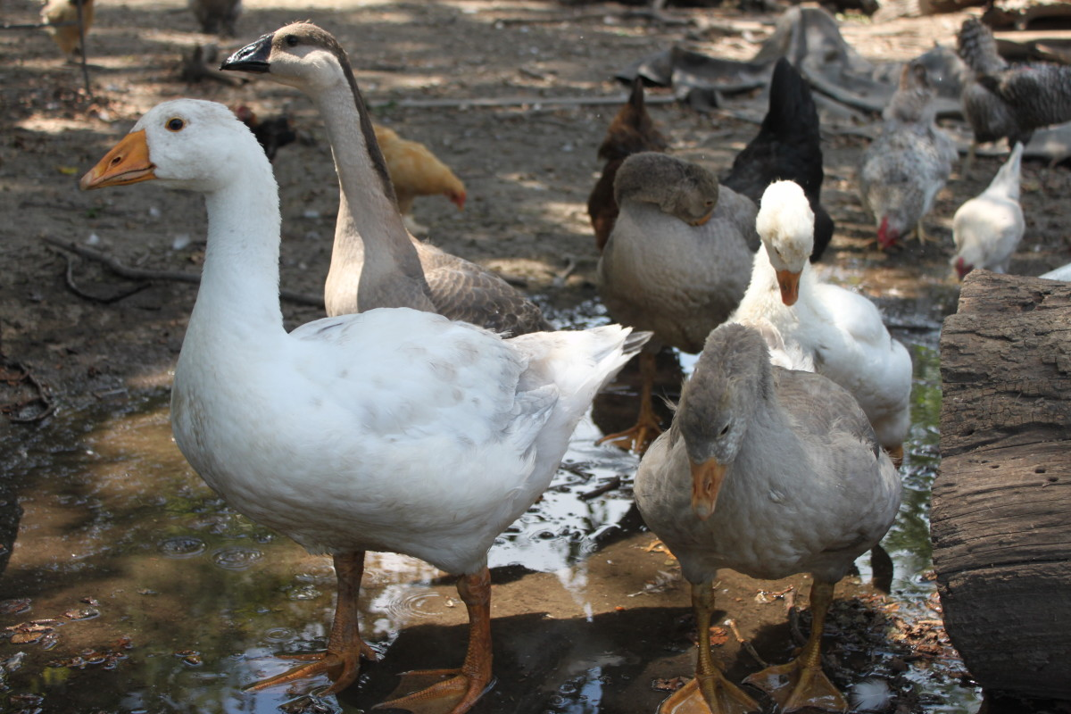 Young geese from a variety of breeds