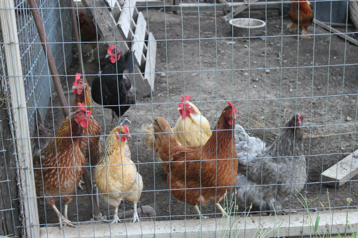 Sometimes chickens have to be kept confined for their own safety, or to maintain good relationships with the neighbors.