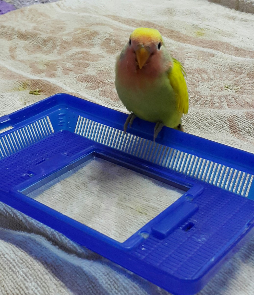 Adorable, isn't he? Mumu is my baby lovebird. He is waiting to be fed.