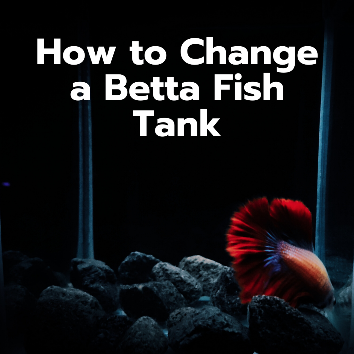 How to Change the Water in a Betta Fish Tank