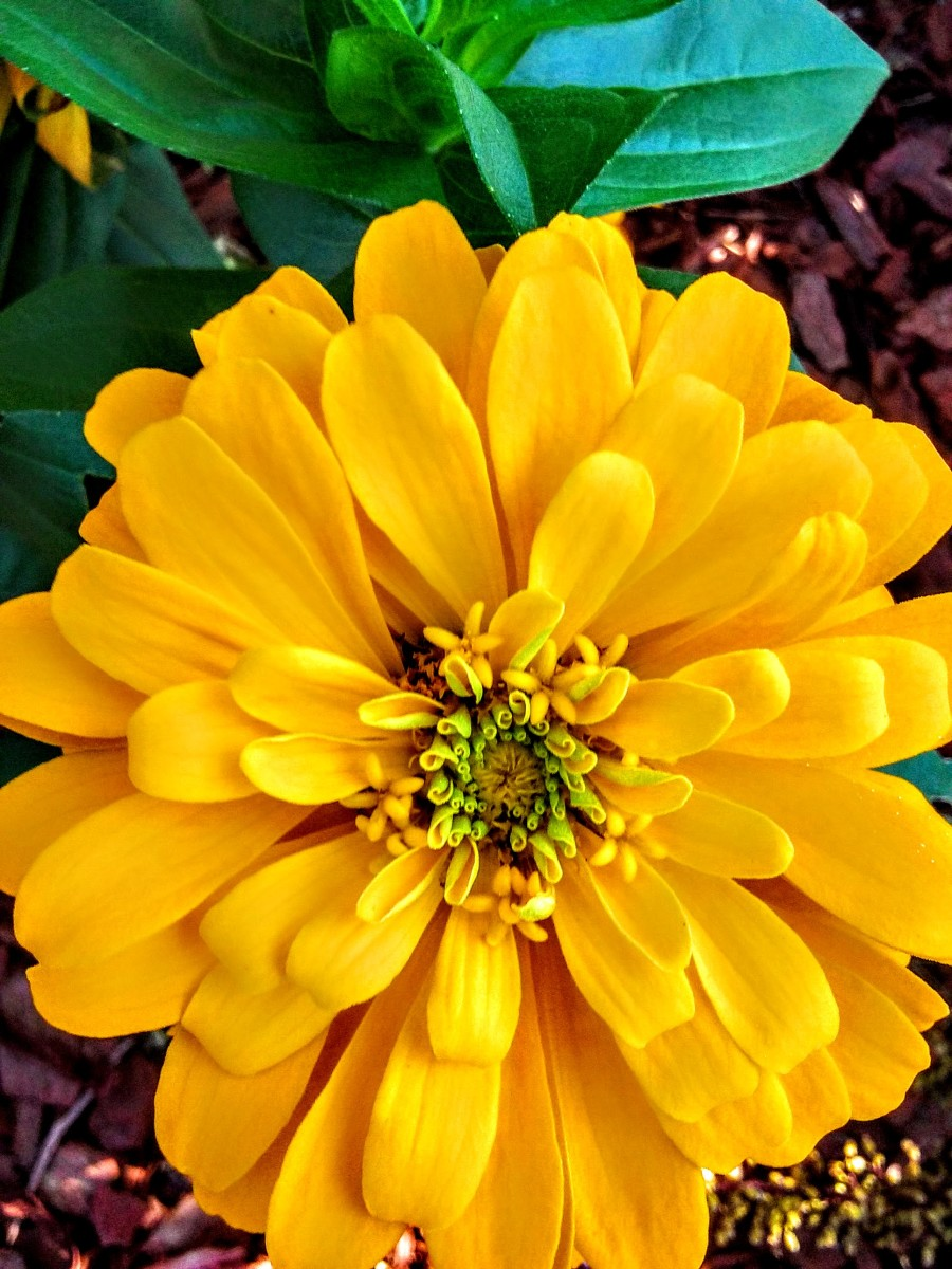 My Summer Zinnias