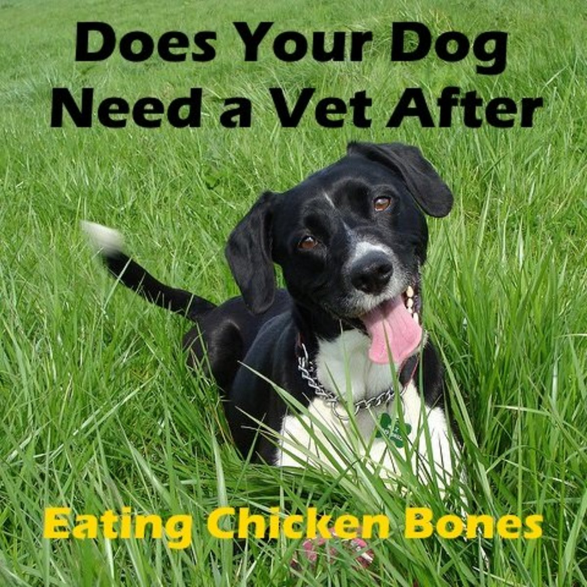 Does your dog need to go to the vet after eating chicken bones?