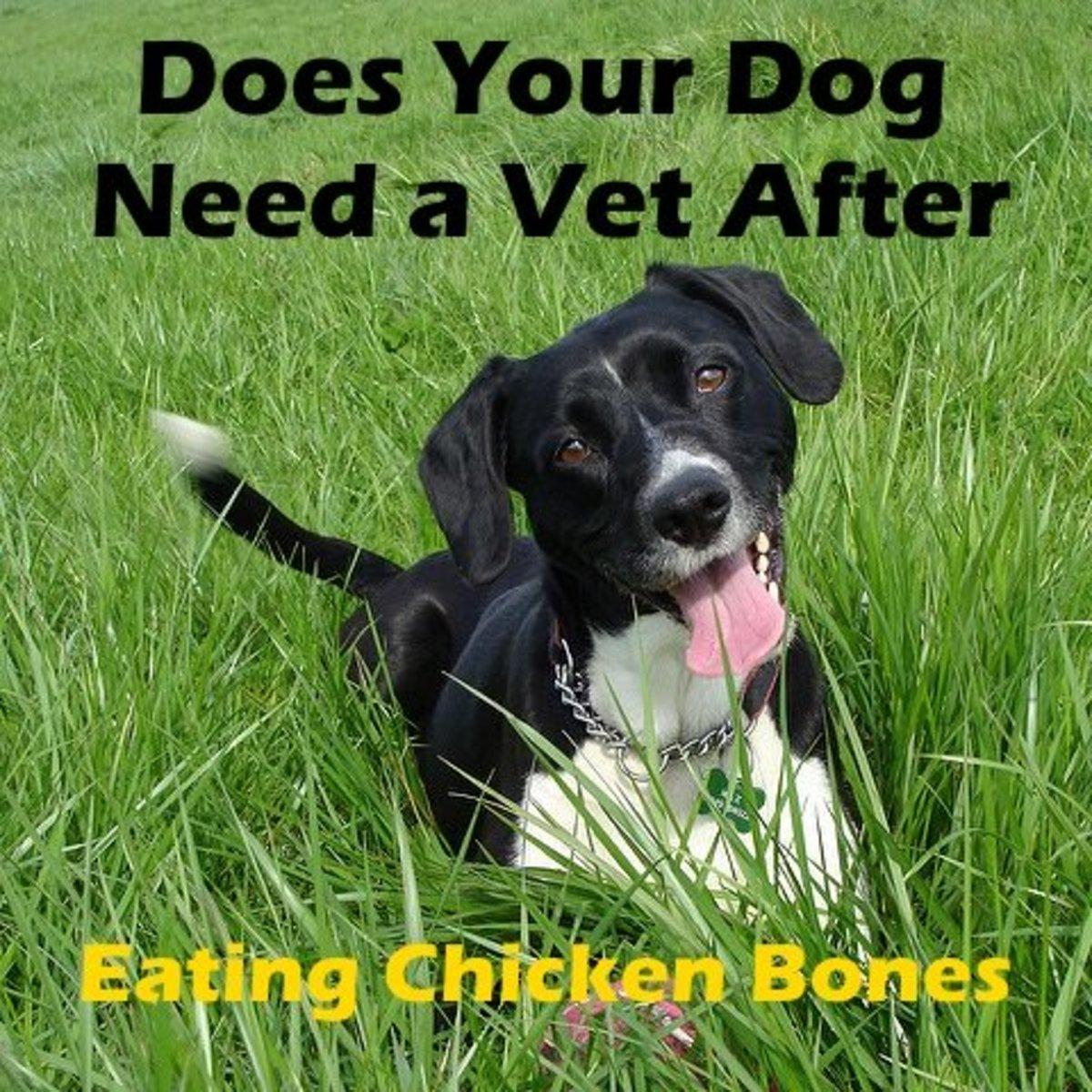 Vet After Eating a Chicken Bone