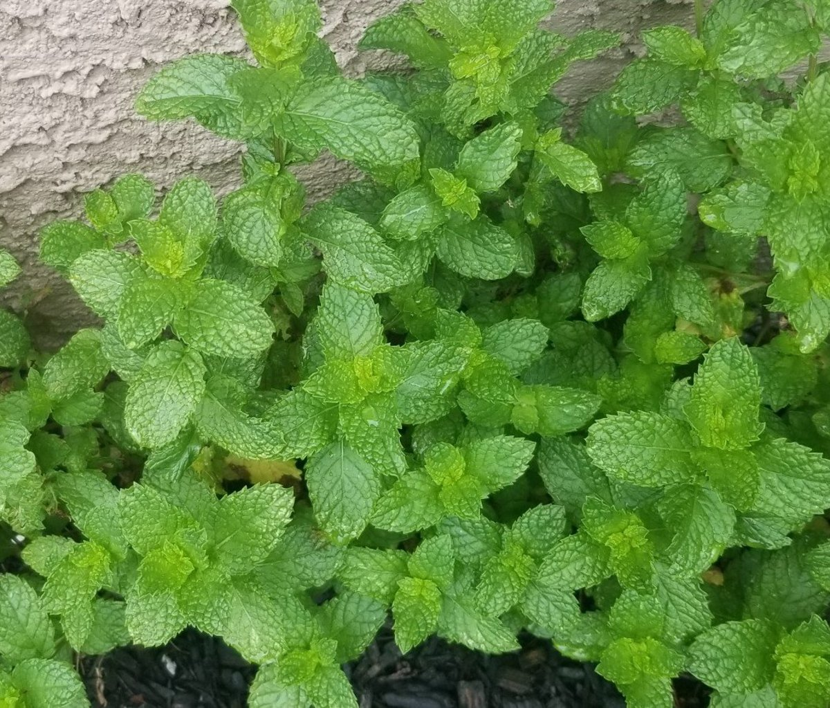 9 Ways to Use Mint Leaves From Your Garden