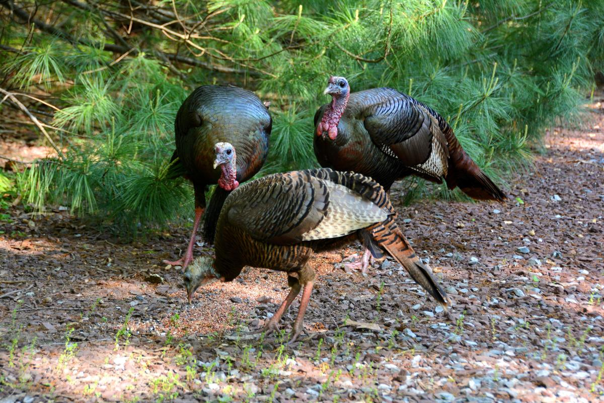 Can you eat a wild turkey, and if so, how?