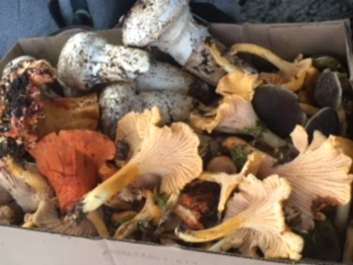 A variety of edible mushrooms I found after a successful day of foraging various spots in Western Oregon