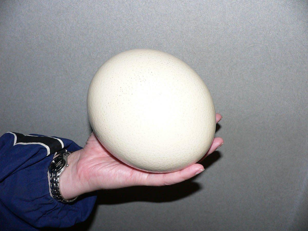 A hand holding an ostrich egg.