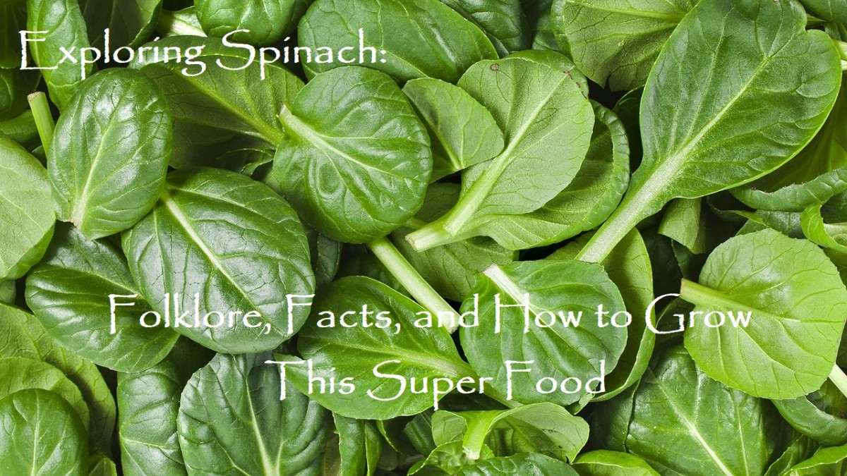 Exploring Spinach: Folklore, Facts, and How to Cook This Super-Food