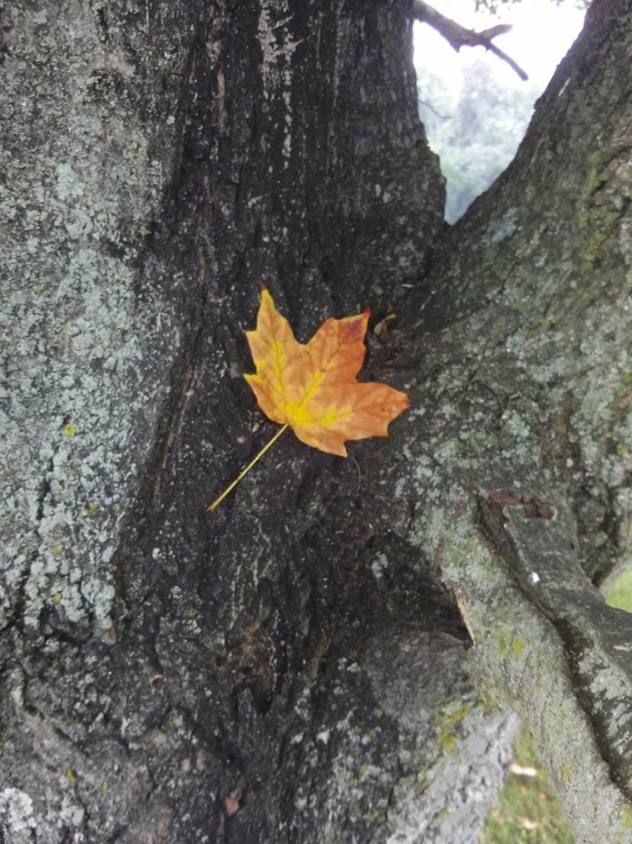 Maple leaf in a tree