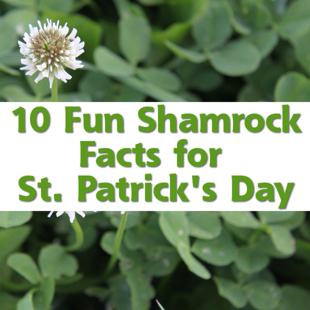 10 Fun Shamrock Facts for St. Patrick's Day