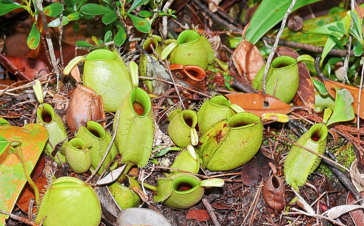 Pitchers of Nepenthes ampullaria in Malaysia
