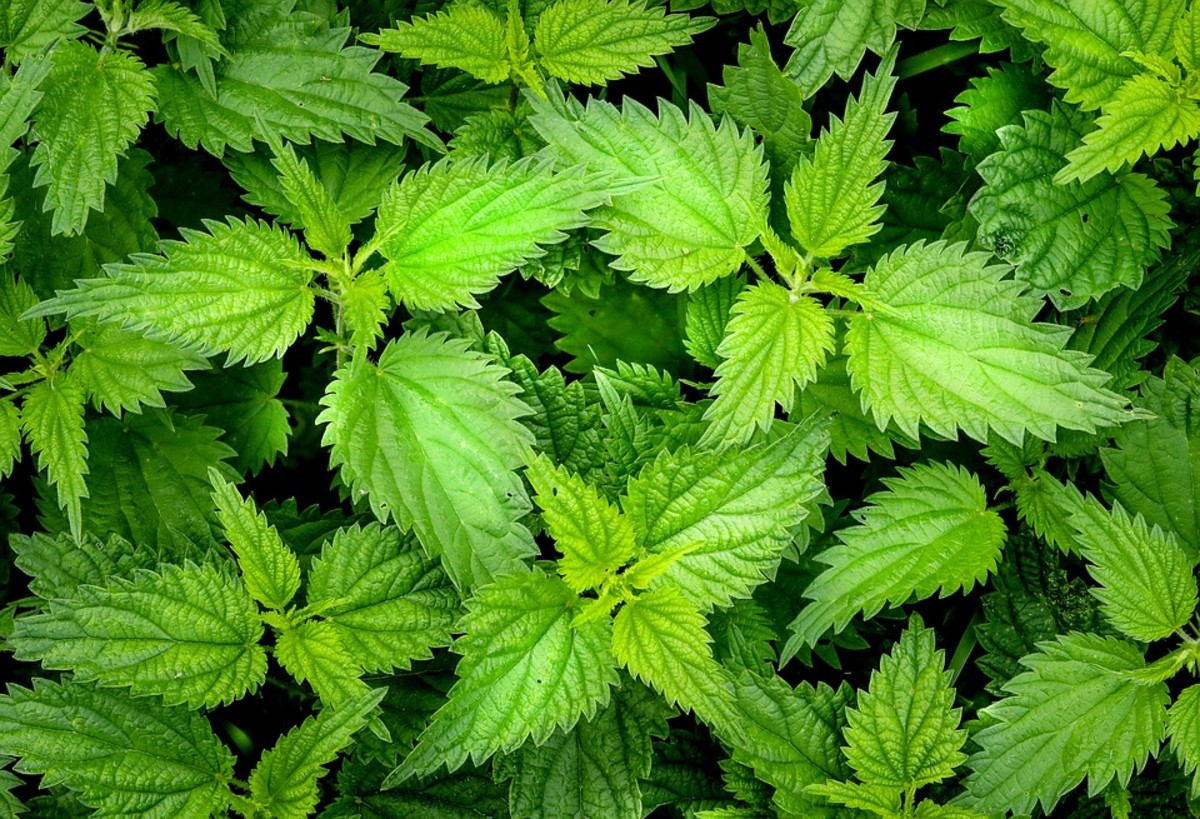 Did you know you can eat nettles?