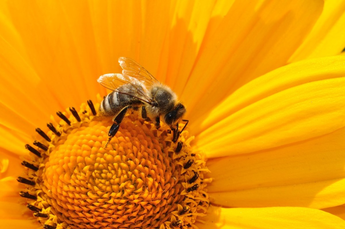 Health Benefits of Bee Pollen and Honey—What's the Buzz About?
