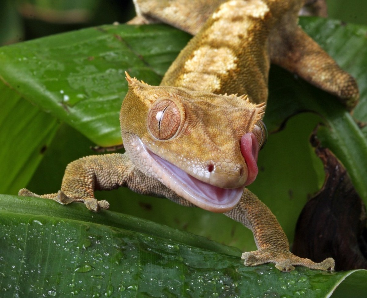 Crested geckos are popular pet reptiles.