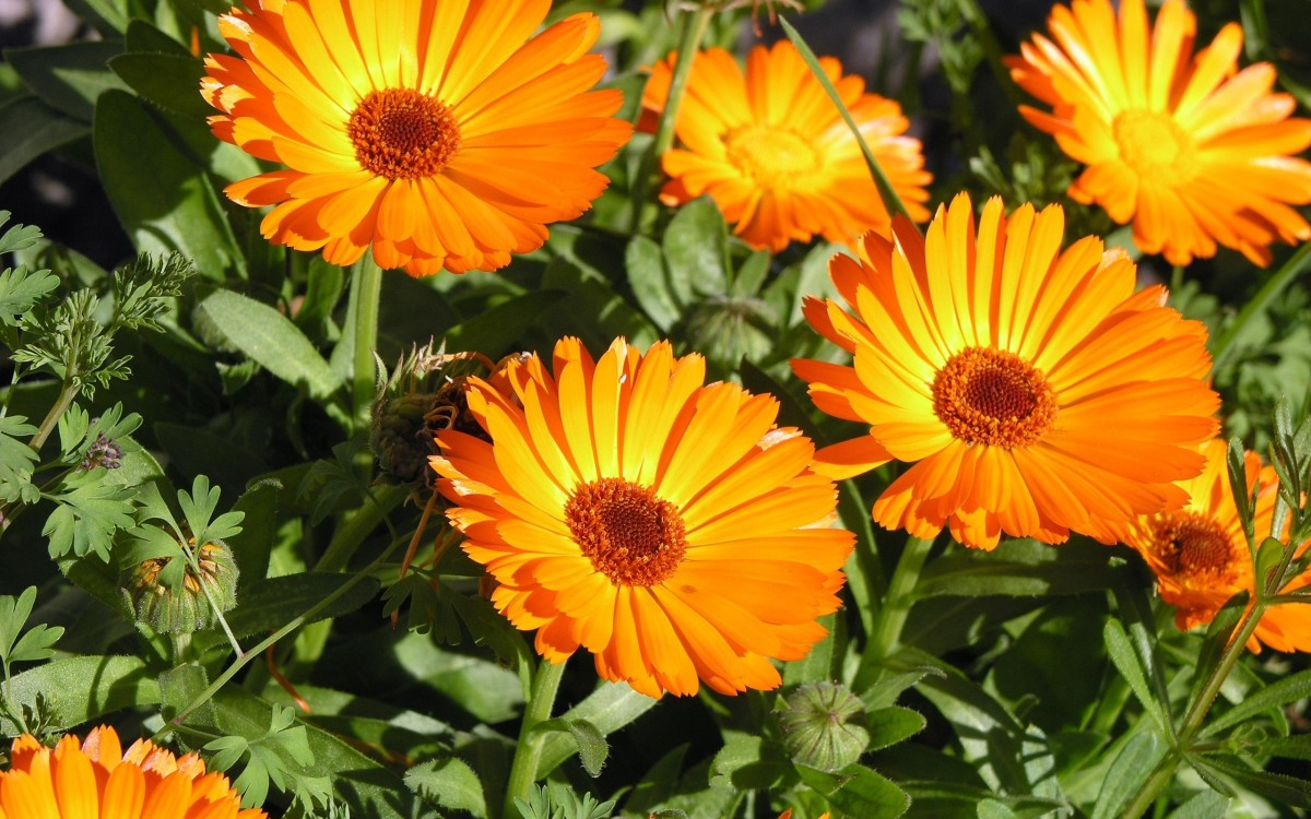 Calendula or Marigold flowers that are used to create the infusion for Trauma Oil.