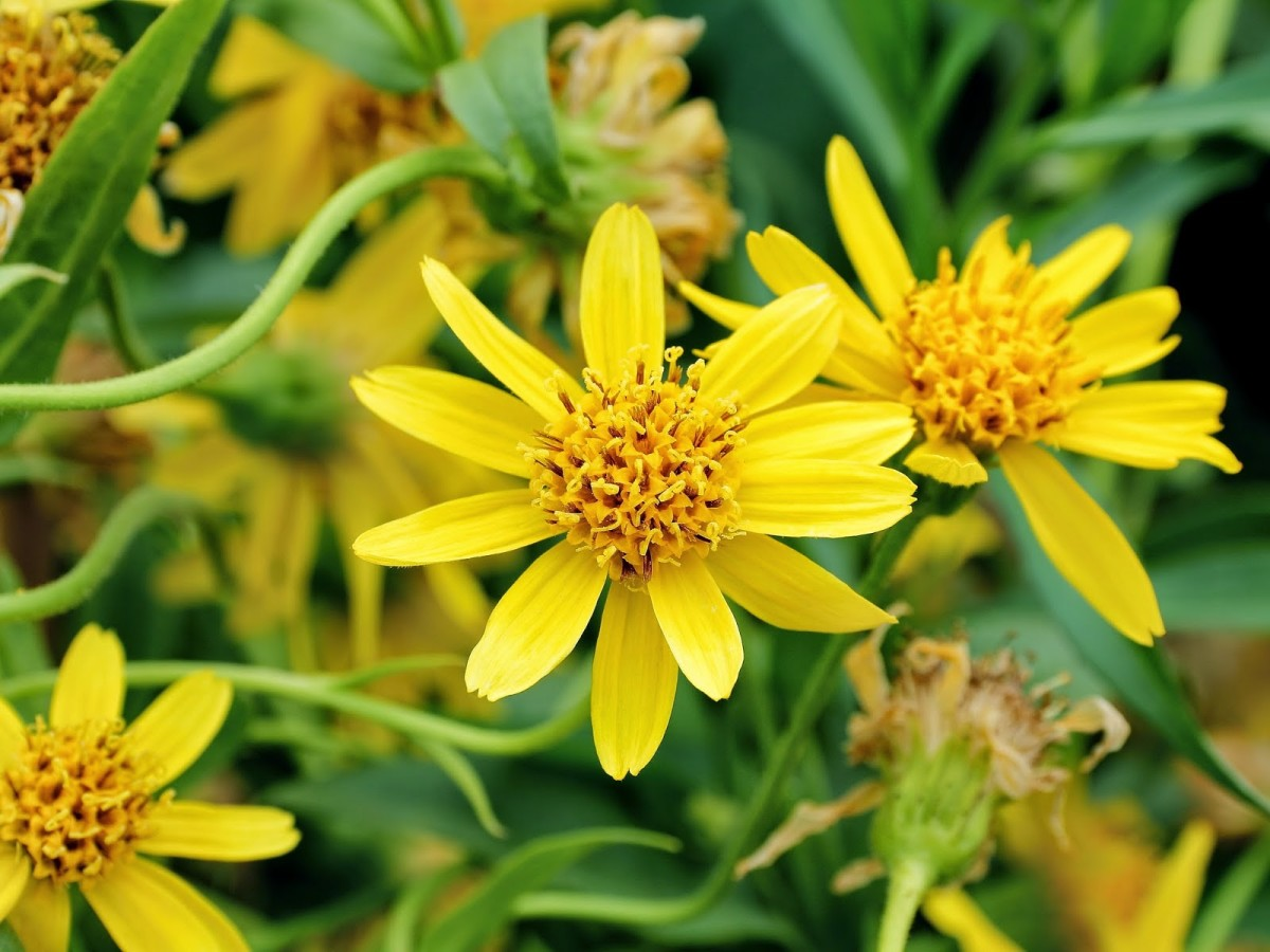 Arnica flowers used to make the infused oil