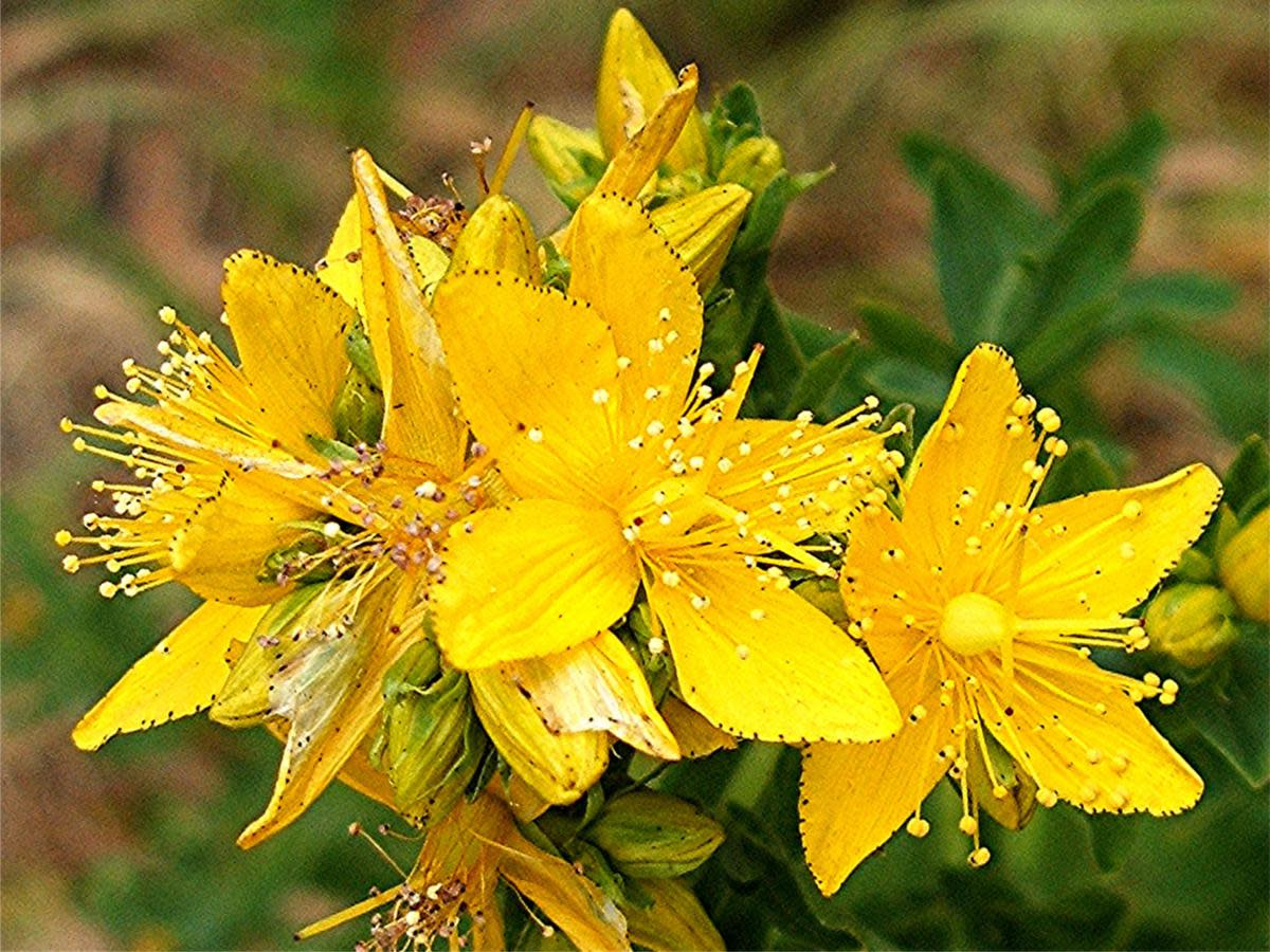 St. Johns Wort flowers that are used in the Trauma Oil infusion