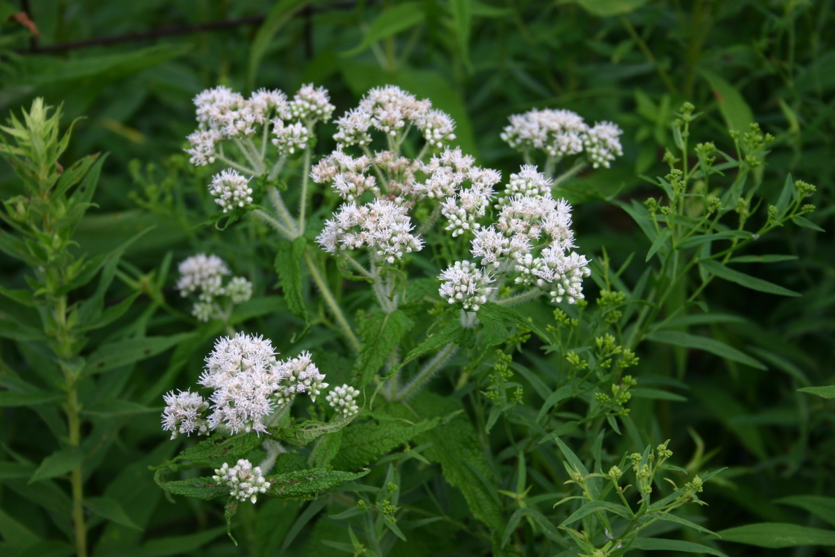 "The name boneset derives from this herb's effectiveness at treating dengue fever. Dengue fever was also referred to as ""breakbone fever."""