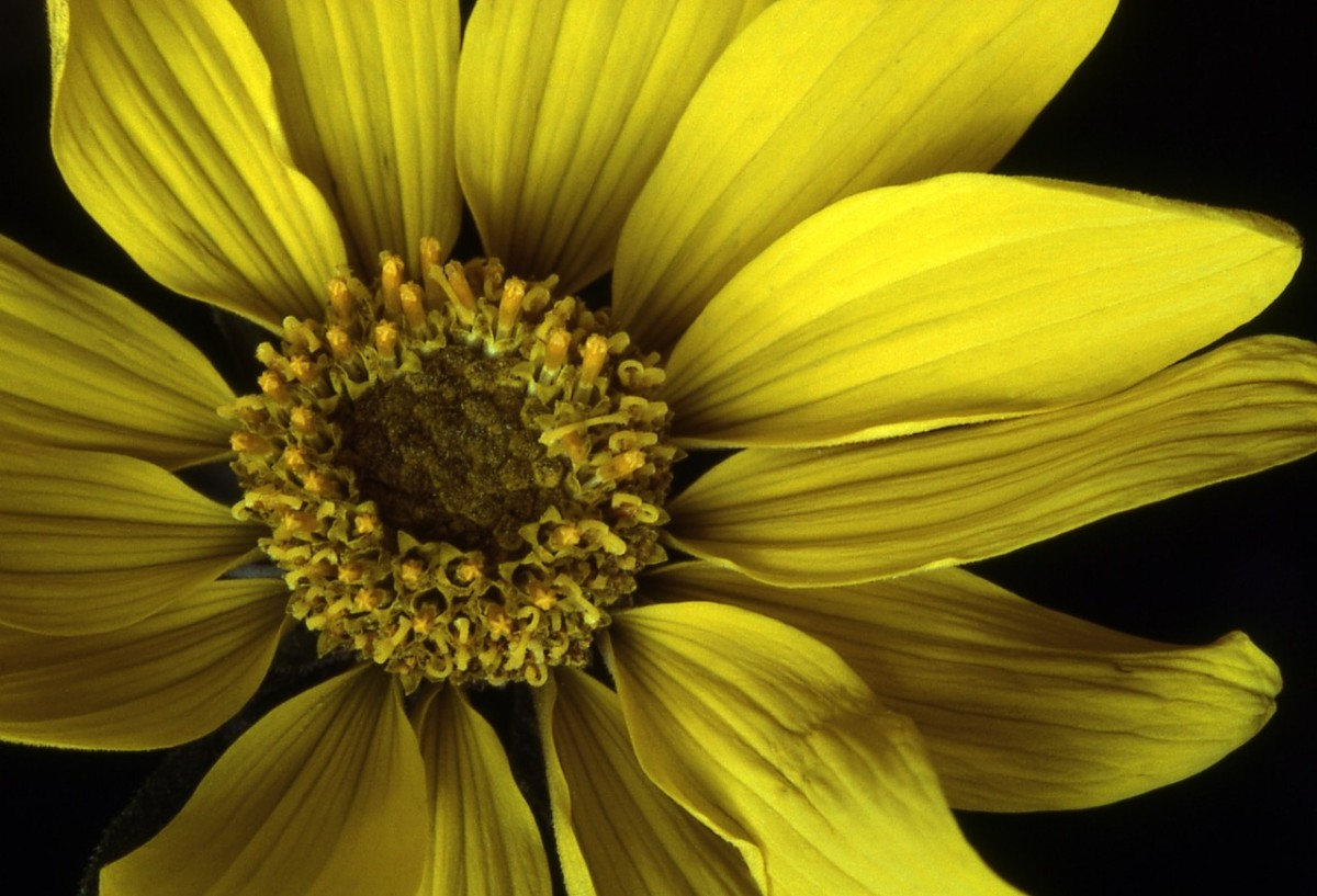 Arrowleaf Balsamroot is a flowering plant in the sunflower tribe. It grows commonly all over Canada and the Western United States.
