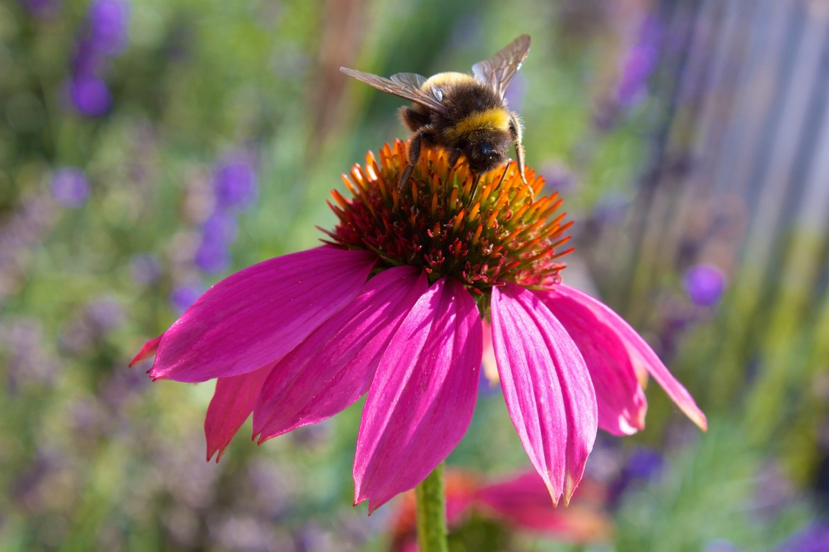 Echinacea is a coneflower widely used for its medicinal properties.