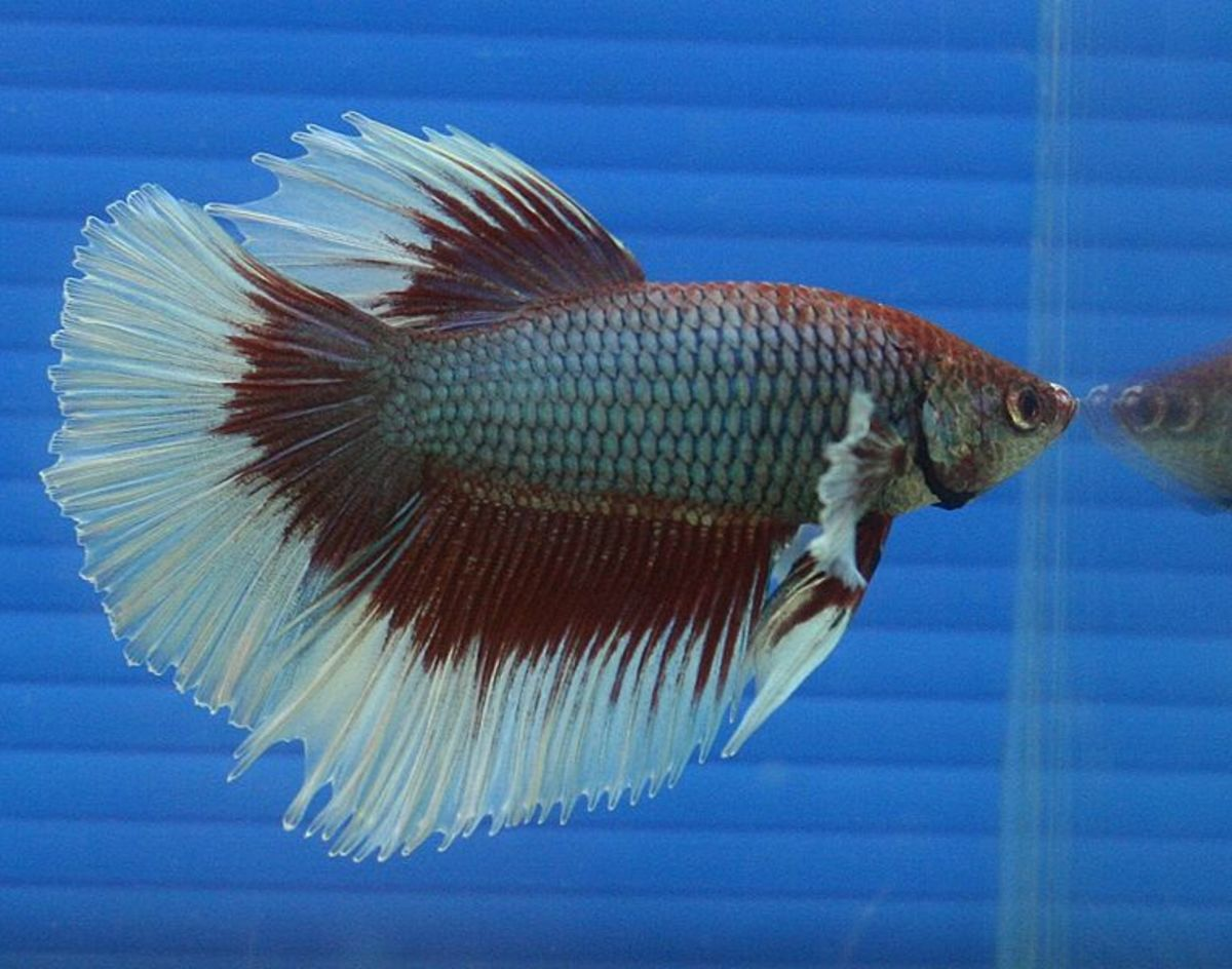 Betta fish may glass surf when they are stressed.