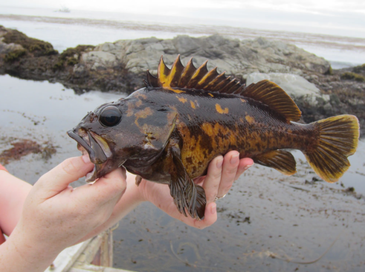 Top 4 Must-Have Lures for Big Rockfish