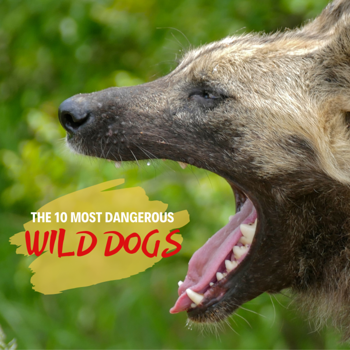 Dogs have been domesticated for thousands of years, but certain breeds still roam the wilds in packs like their lupine ancestors.