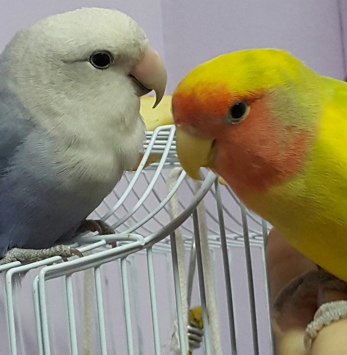 Picture showing a peach faced male lovebird Mumu with his mate Lulu, who is a white-faced violet roseicollis peach faced female lovebird.