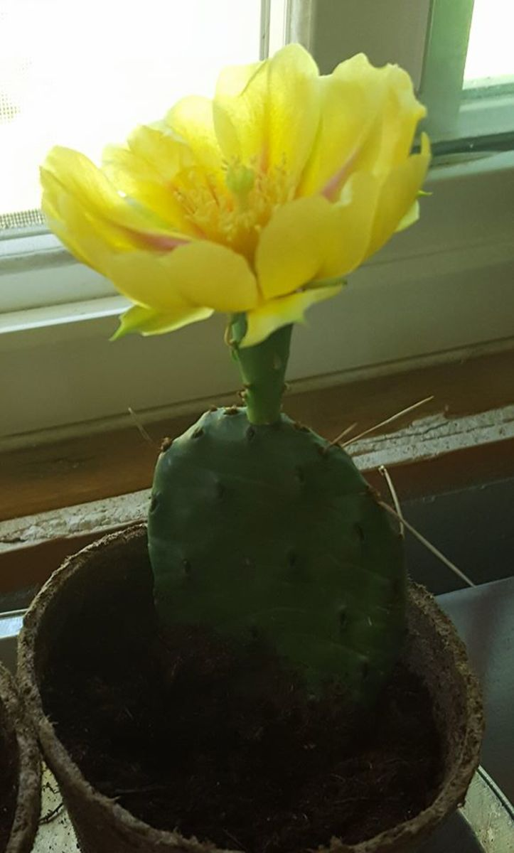 Little unexpected surprises. I woke up one morning to this gorgeous flower on my cactus plant.
