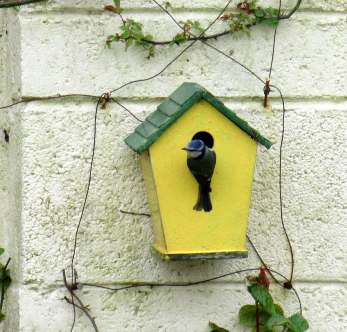 Blue Tit Birds Nesting in My Garden